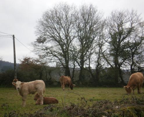 Día mundial del Medio Ambiente siendo Ecoperegrino- vacas en el Camino